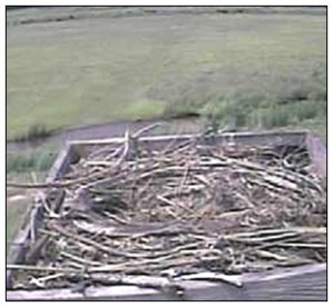 Wing-like item in Osprey Cam nest