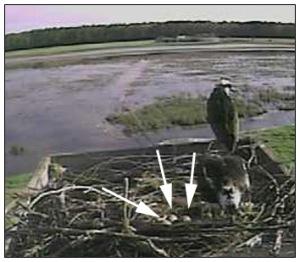 Three eggs on Osprey Cam