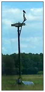Father osprey on camera arm