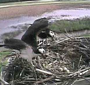 Three eggs at Osprey Cam