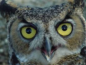 Great Horned Owl, credit: USFWS