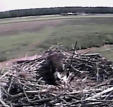 Three Chicks on Osprey Cam
