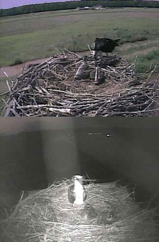 Osprey Chicks at Three Weeks