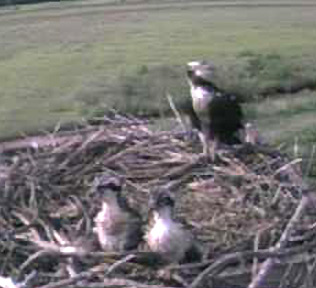 Two Osprey Chicks