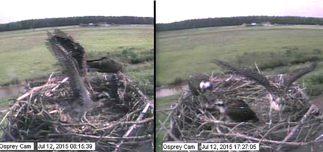 Osprey Chicks Flapping