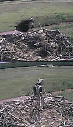 Osprey Cam chicks with pin feathers