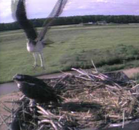 Osprey Chicks Flying