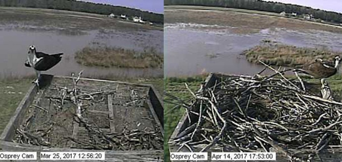 Comparison of the Osprey Cam nest over a three-week period.