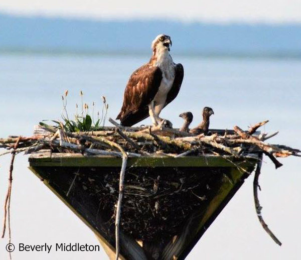 Two-chick osprey nest along the Blackwater NWR Wildlife Drive